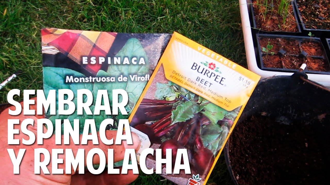 Como plantar espinaca y remolacha