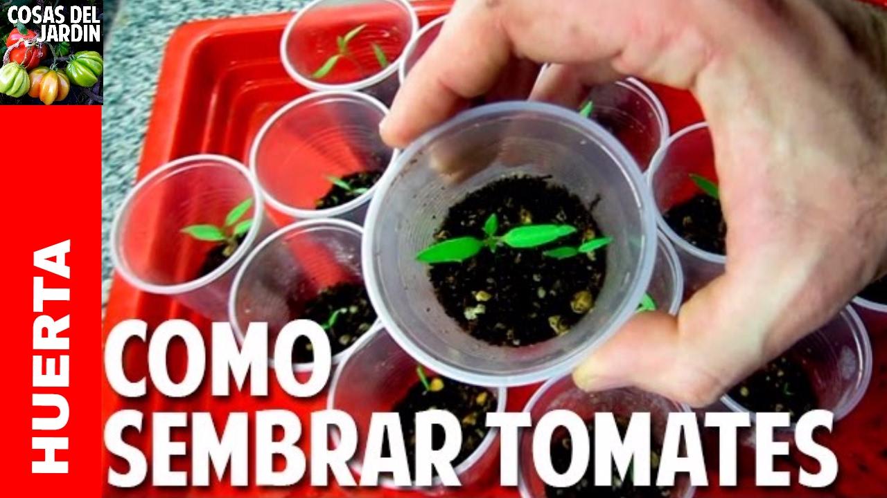 Sembrar Tomate Desde Semilla Germinaci N En 7 D As Cosas Del  ~ Como Cultivar Tomates En El Huerto