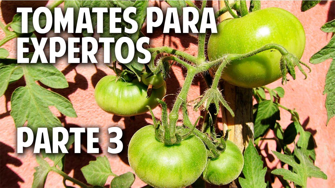 M Xima Producci N De Tomates En Maceta Parte 3 Atando Las  ~ Como Cultivar Tomates En El Huerto