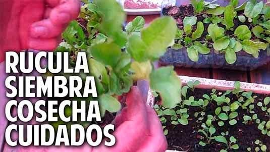 Como sembrar rucula, cultivo cuidados y cosecha. Satisfacción Garantizada!