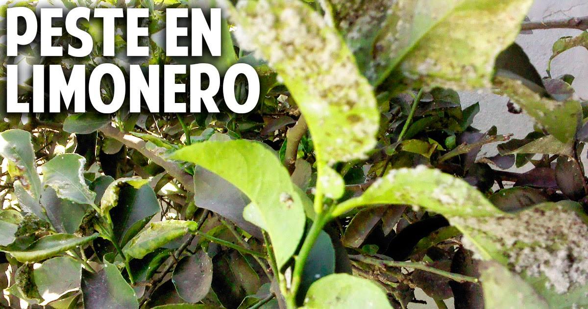 Limones apestados con mancha algodonosa y hormigas – Mosca Blanca del cítrico – Como controlarla