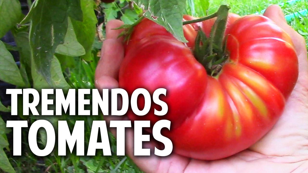 12 trucos para cultivar tremendos tomates. Poda y Fertilización Los mejores trucos para cultivo de tomate en casa En este artículo te voy a contar unos trucos sobre tomates que te van a sorprender. Vamos a hablar de riego, de hongos, de poda, de los tomates azules #jardin #jardinagem #jardineria #tomate #huertourbano #huerto #plantas