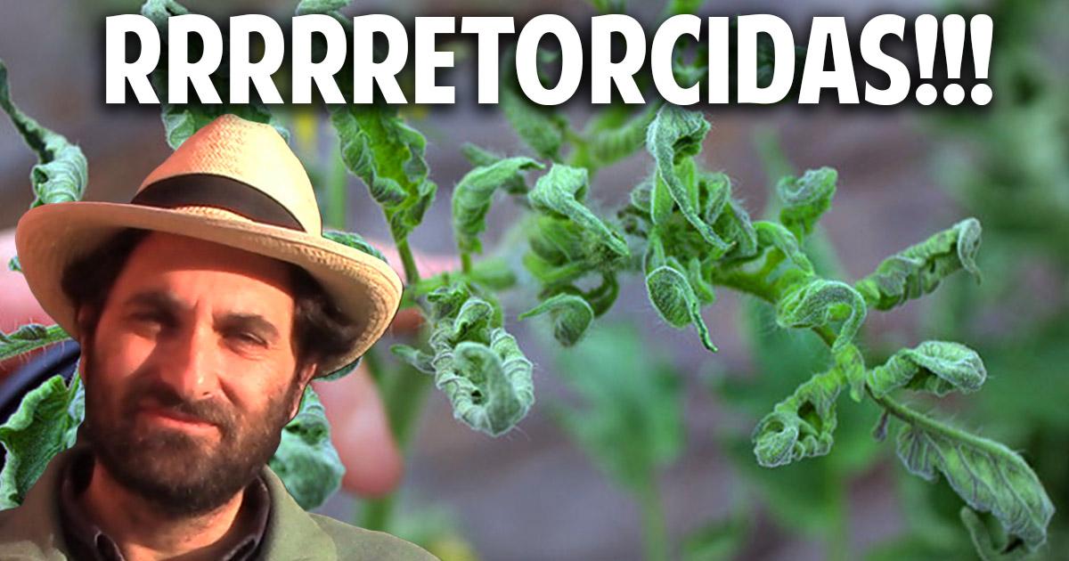 Por que se retuercen las hojas de las tomateras?