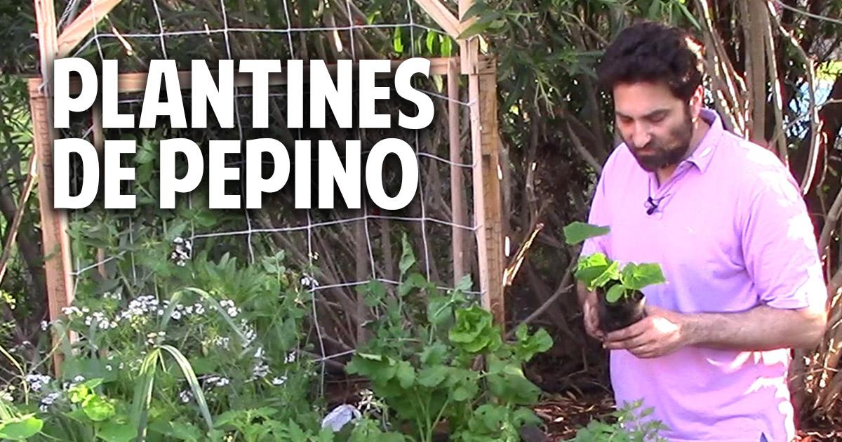 Como sembrar pepino en casa paso a paso parte 2 cosas - Cosas del jardin ...