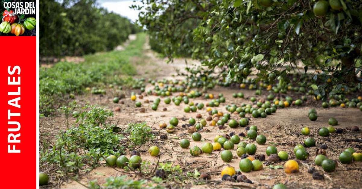 Si te preocupa que los frutos del limonero o de cualquier cítrico se estén cayendo de la planta, continúa leyendo para aprender cuál es la causa de la caida de frutos y algunas formas para prevenirlo. #limón #huertourbano #jardin #jardineria