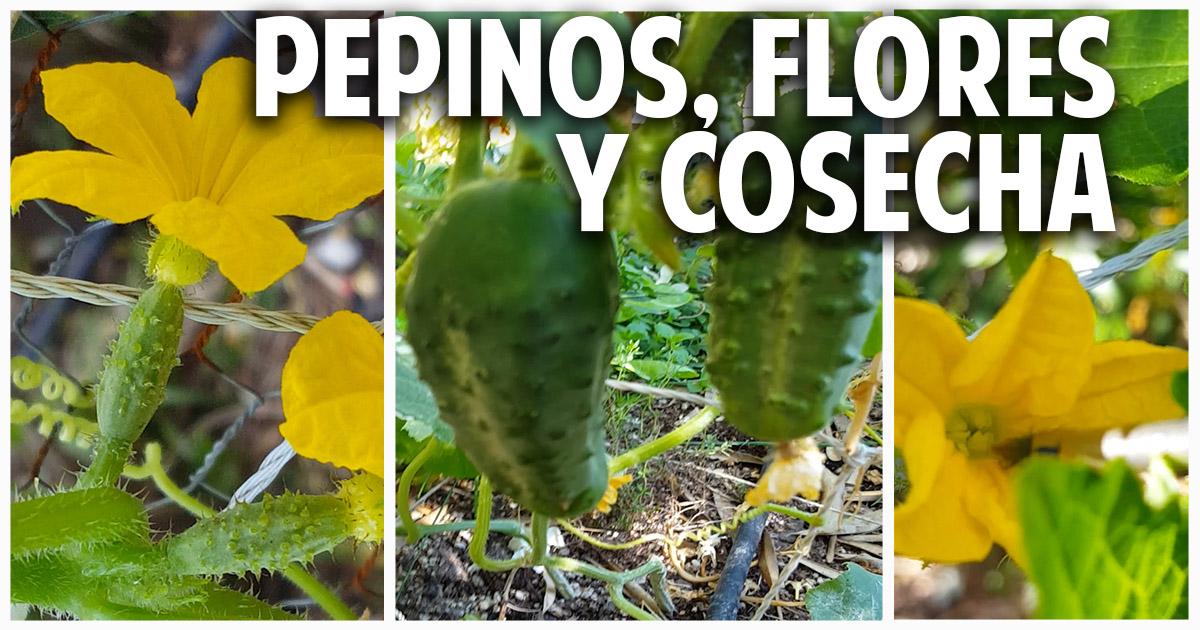 Como sembrar pepino en casa parte 3 – Polinización y Cosecha