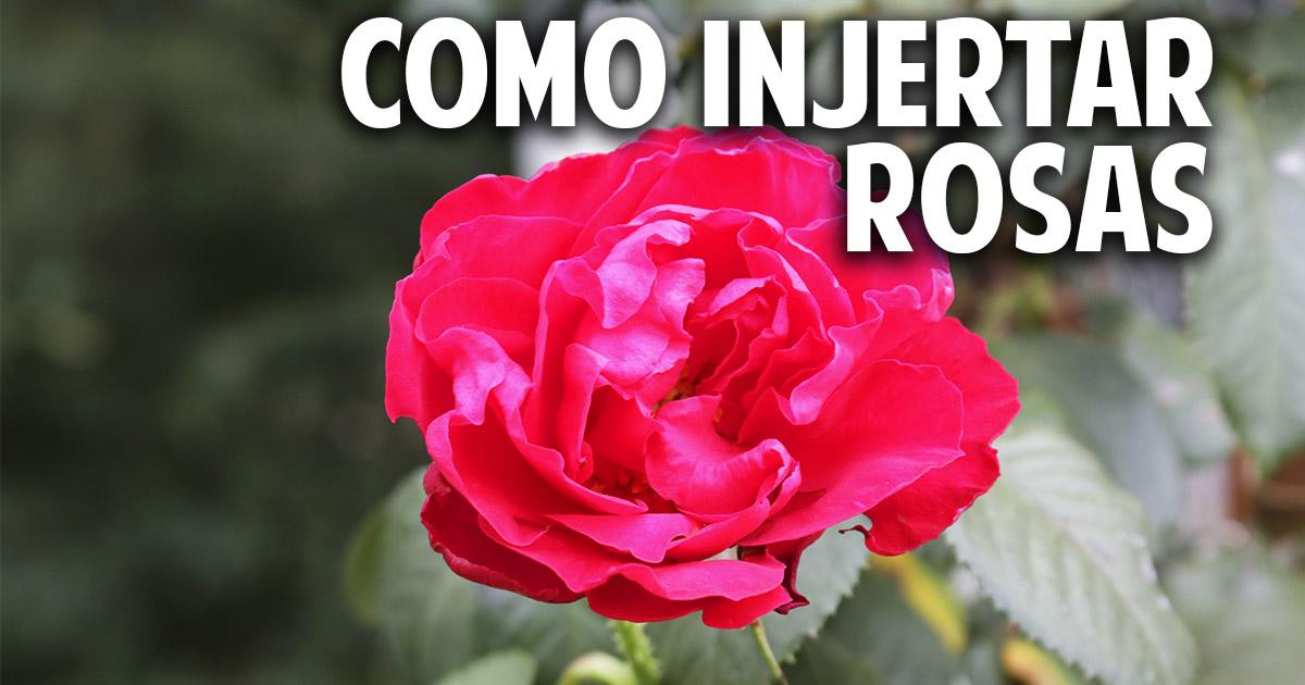 Cómo hacer injertos en Rosas – Paso a Paso