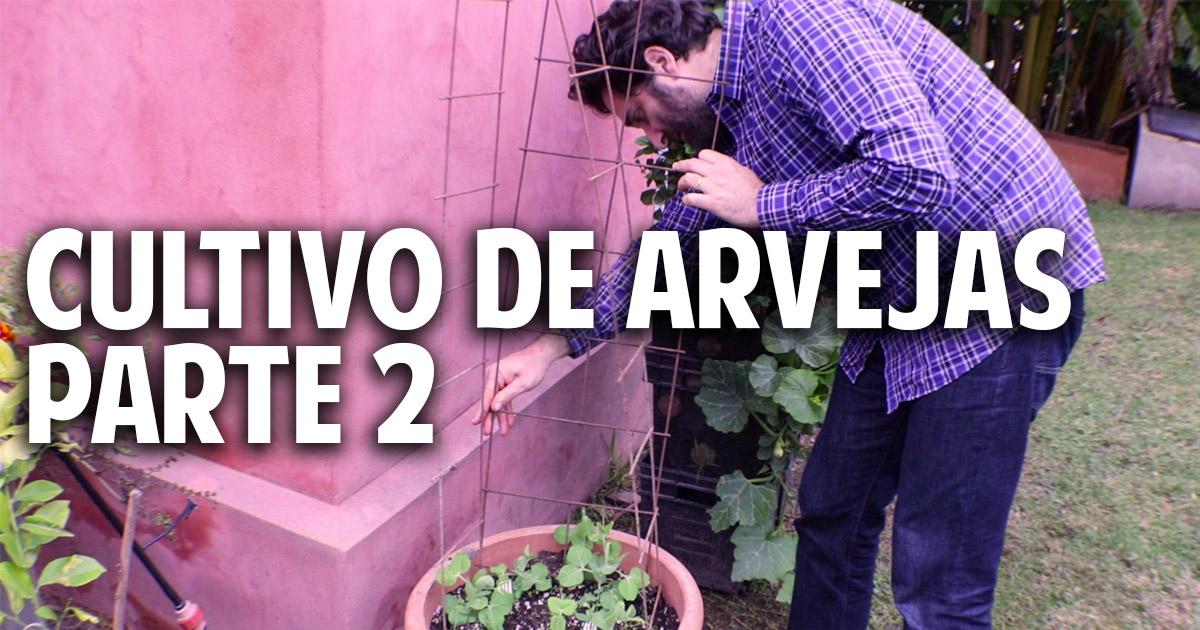 Como entutorar arvejas, guisantes, chicharos o tirabeques en maceta – cultivo paso a paso parte 2