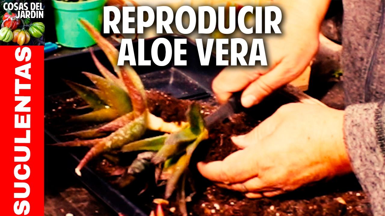 Como reproducir Aloe Vera y otras suculentas. Enraizamiento de hijuelos de Aloe Vera