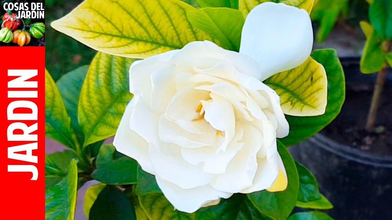 preguntas sobre jazmin o gardenia