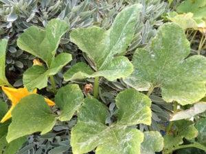 Polvo blanco en las hojas de la calabaza. Como controlar el Oidio en Calabaza - 1