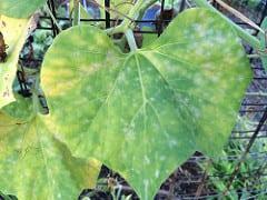 Polvo blanco en las hojas de la calabaza. Como controlar el Oidio en Calabaza - 2