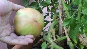 Cuando y como cosechar tomates - 2