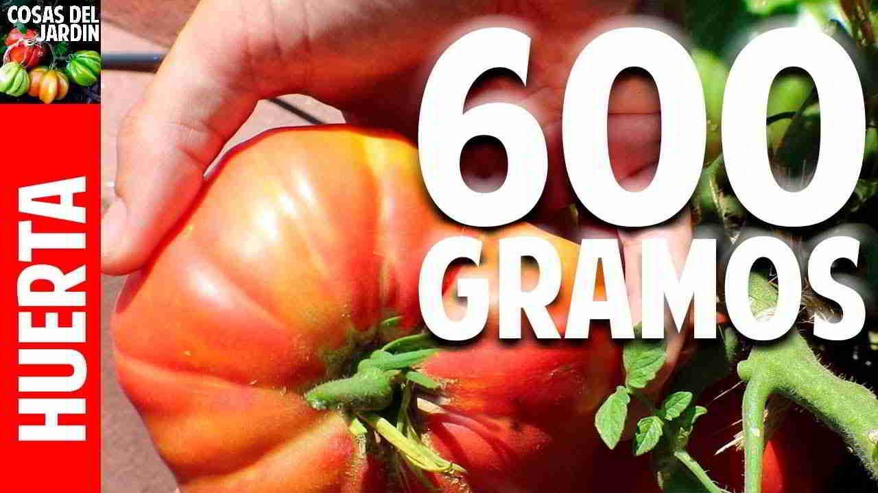Cuando y como cosechar tomates