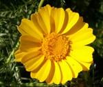 crisantemo coronario flores comestibles