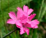 Dianthus_carthusianorum flores comestibles