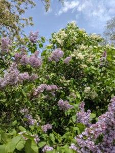 como podar Árboles y arbustos que florecen en primavera