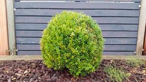 como podar arbustos para setos