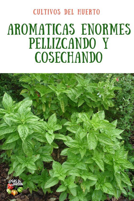 Como tener hierbas aromaticas más abundantes pellizcando y cosechando #jardin #plantas #huertourbano #huerto #jardineria