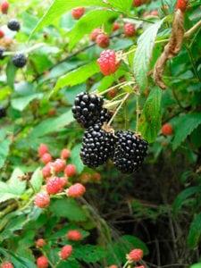 Como podar berris enredaderas