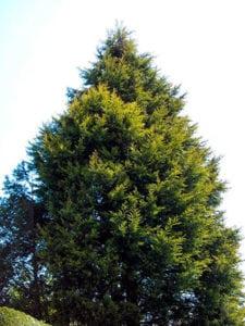 como podar pinos