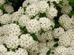 corona-de-novia flores comestibles