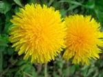 diente-de-leon flores comestibles