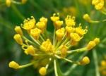 eneldo flores comestibles
