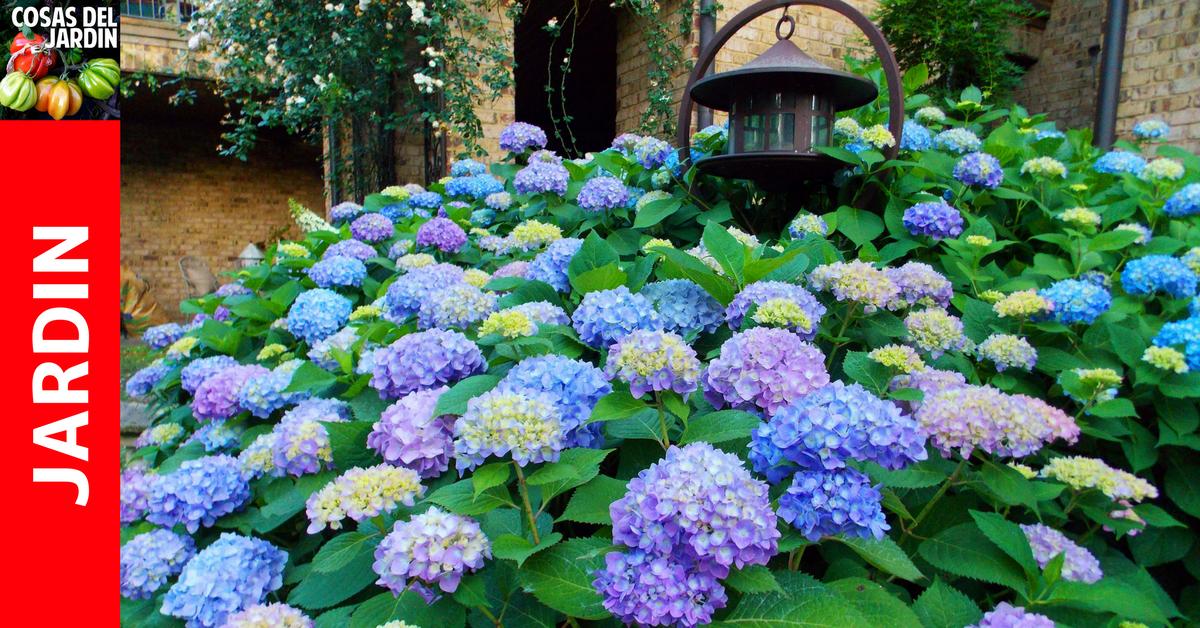 Cultivo de hortensias gu a para el cuidado de las for Hortensias cultivo y cuidados