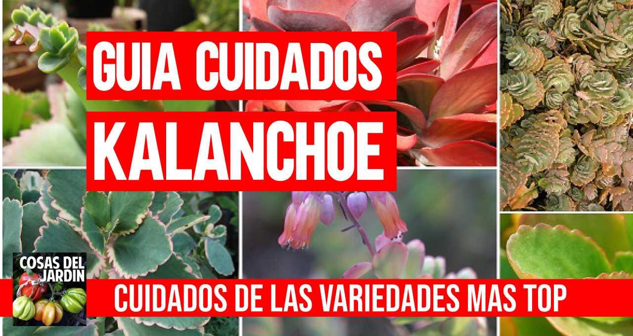Conoce los más simples cuidados y propiedades de las variedades más populares de kalanchoe: Aranto, Siempreviva, Thyrsiflora y Planta Panda. #jardin #jardineria #sultivar #suculentas