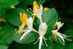 madreselva flores comestibles