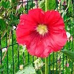 40 flores comestibles más comunes para alegrar tus ensaladas - 1