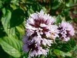 menta-florecida flores comestibles