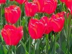 tulipan flores comestibles