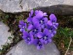 viola, violeta flores comestibles