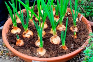 como-cultivar-cebolla