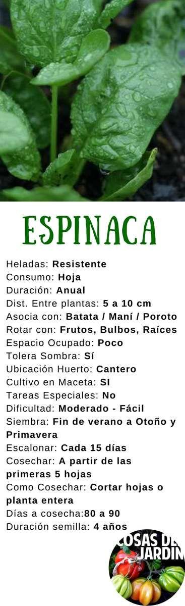 El cultivo de espinacas es fundamental en cualquier huerta que se digne de serlo. Sigue esta guía de cultivo para tener una cosecha sana y abundante #plantas #jardin #jardineria #huertourbano #huerto #cultivar