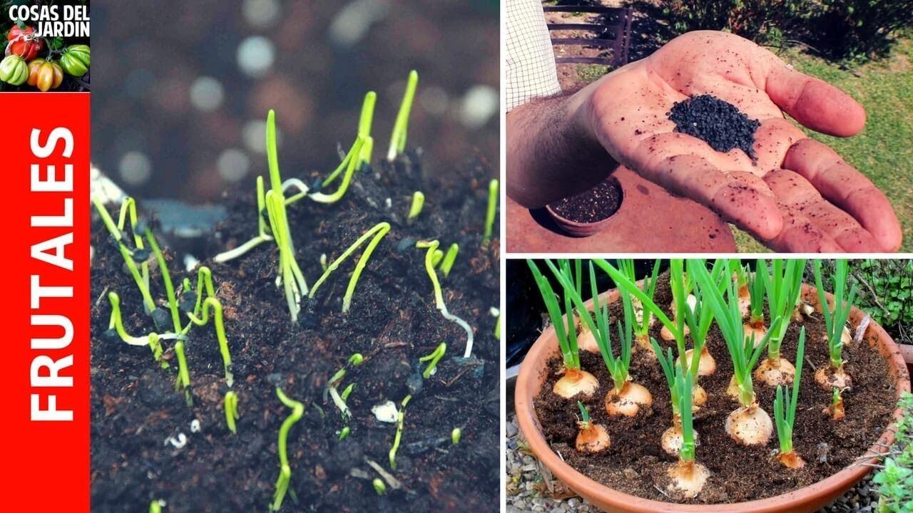 Cómo sembrar cebolla paso a paso