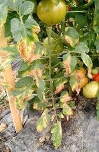 Verticilosis en tomates