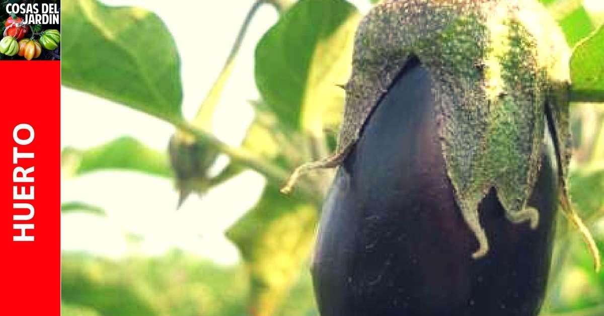 Como cultivar berenjena en el huerto y en macetas