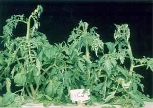 deficiencia de cobre en tomates