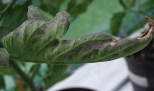 deficiencia de fosforo en tomate
