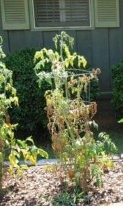 Fusarium en Planta de tomate