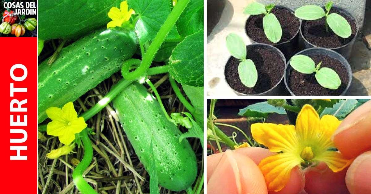 Guía de cultivo de pepinos – Un lindo cultivo para principiantes