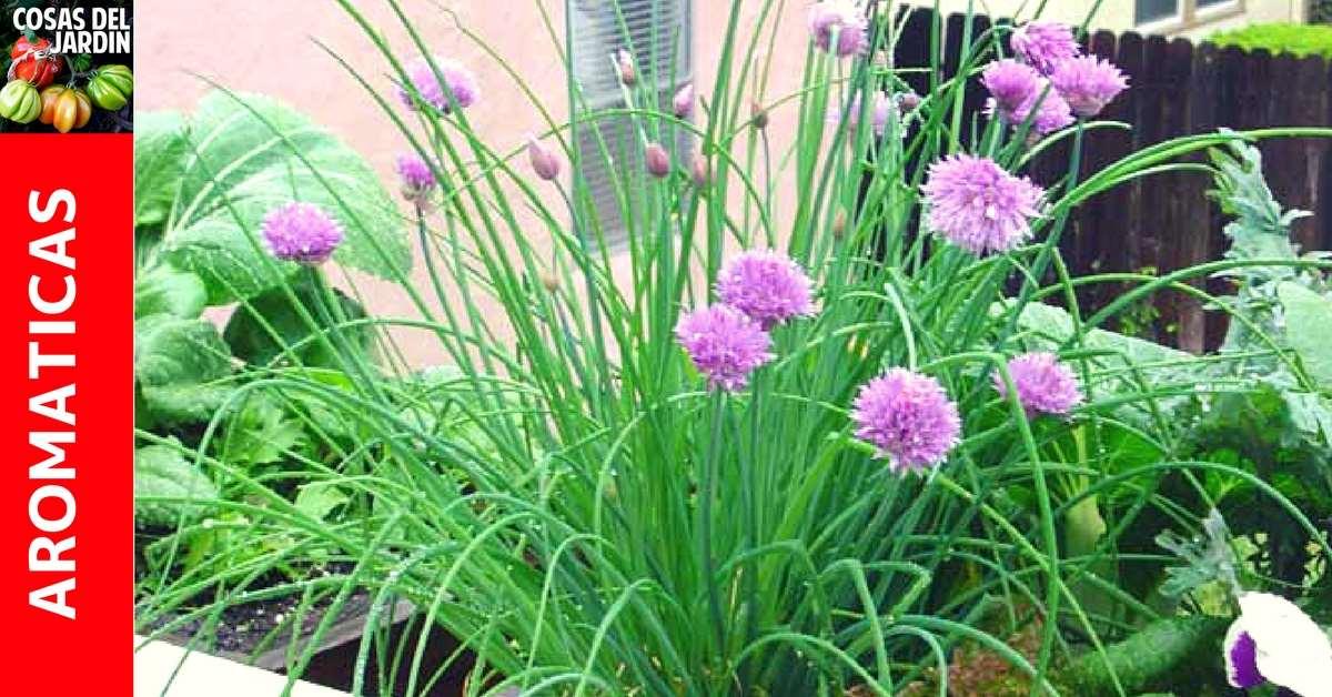 Como plantar Cebollín o Cebolleta – Guía de Cultivo