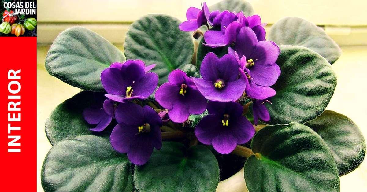Las violetas africanas son una de las plantas de interior más populares del mundo y por una buena razón. Estas plantas compactas y pequeñas florecen varias veces al año y están disponibles en una multitud de formas y colores de hojas. Con un poco de experiencia, es posible mantenerlas en flor casi todo el año. #Plantas #Cultivar #jardín #Jardinería