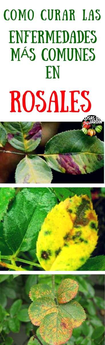 Como curar enfermedades mas comunes de las rosas. Las rosas tienen la reputacion de agarrarse todo tipo de enfermedades. Aprende como identificar y curar las enfermedades más comunes en tus rosas #jardin #jardineria #plantas #huerto #huertourbano #cultivar #Rosas