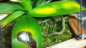 orquidea mucho sol