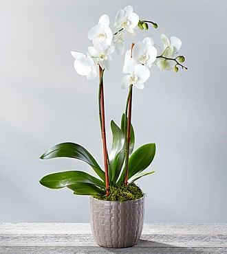 orquidea perfectamente sana