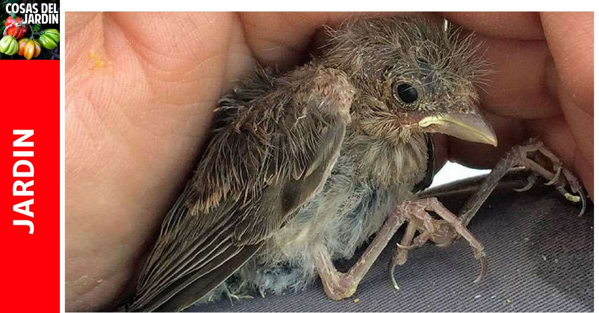 Qué hacer si encuentras un pájarito bebé en tu jardín